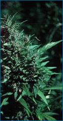 La carta su farmaci di dipendenze soggetti fumo di alcool